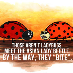 Lady Bugs Vs Asian Lady Beetles Editorial Illustration